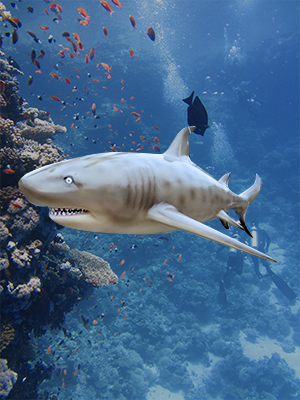 Hanging Sand Tiger Shark