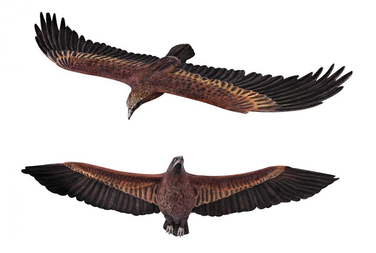 Wedge-Tailed Eagle Flying