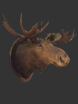 Moose Head Mounted